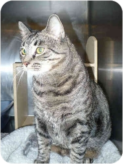 Domestic Shorthair Cat for adoption in Colmar, Pennsylvania - Abbey