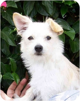 Norfolk Terrier Mix Dog for adoption in El Segundo, California - Pansy