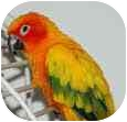 Conure for adoption in Independence, Kentucky - Figaro