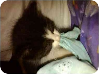 Domestic Mediumhair Kitten for adoption in Haughton, Louisiana - Vader