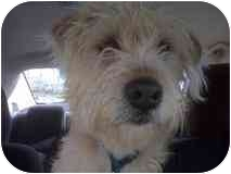 Wheaten Terrier Mix Dog for adoption in Nanuet, New York - Sherlock & Watson