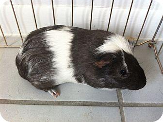 Guinea Pig for adoption in Orlando, Florida - Porky