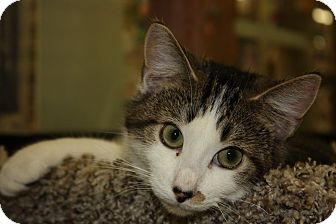 Domestic Shorthair Cat for adoption in Warren, Ohio - Tiger