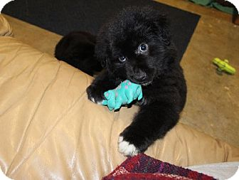 Newfoundland Mix Puppy for adoption in Muldrow, Oklahoma - Marcus