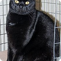 Domestic Shorthair Cat for adoption in McDonough, Georgia - Lenox