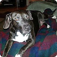 Adopt A Pet :: Bruno - Fenton, MI