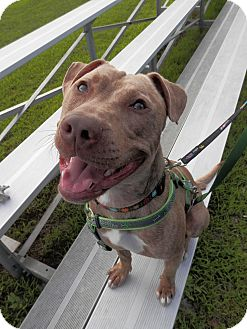 American Pit Bull Terrier/Shar Pei Mix Dog for adoption in Morristown, New Jersey - Zach