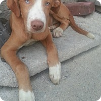 Adopt A Pet :: Marco(ADOPTED!) - Chicago, IL