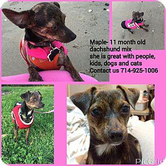 Dachshund/Miniature Pinscher Mix Puppy for adoption in Santa Ana, California - Maple