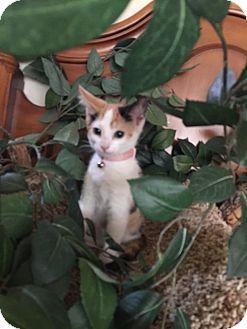 Calico Kitten for adoption in Cranford/Rartian, New Jersey - Aphrodite