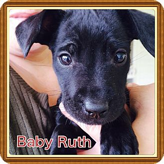 Chihuahua/Dachshund Mix Puppy for adoption in Glastonbury, Connecticut - Baby Ruth