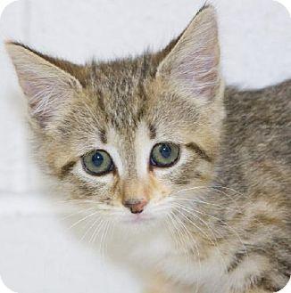 Domestic Mediumhair Kitten for adoption in Salem, Massachusetts - Noel