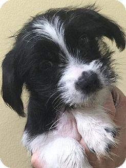 "Yorkie, Yorkshire Terrier/Pug Mix Puppy for adoption in Oswego, Illinois - Shugs ""Sabin"""