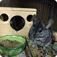 Adopt A Pet :: Electra & Cinder - Hammond, IN