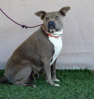 American Pit Bull Terrier Mix Dog for adoption in Palm Springs, California - Papaya