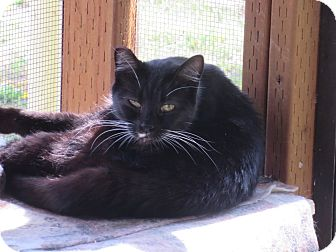 Domestic Shorthair Cat for adoption in Coos Bay, Oregon - Sanya