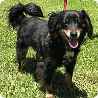 Adopt A Pet :: Toby Jack - Lake Jackson, TX