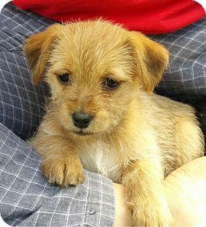 Shih Tzu/Terrier (Unknown Type, Small) Mix Puppy for adoption in Schaumburg, Illinois - Cleo-adoption pending