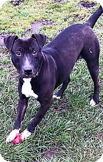 American Pit Bull Terrier/Boston Terrier Mix Dog for adoption in Snohomish, Washington - Tucker, totally cool companion