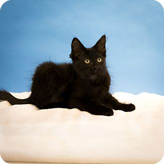 Domestic Mediumhair Cat for adoption in Houston, Texas - Rose