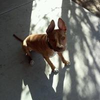 Adopt A Pet :: Izzy - Las Cruces, NM