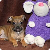 Adopt A Pet :: Sopapilla - Washington, DC