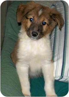 Sheltie, Shetland Sheepdog/Collie Mix Puppy for adoption in Albany, New York - Heather