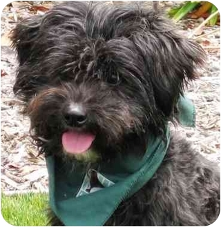 Poodle (Miniature) Mix Dog for adoption in San Diego, California - Topper