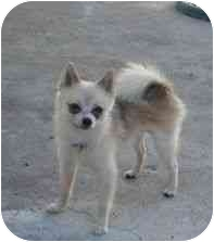 Chihuahua/Pomeranian Mix Dog for adoption in San Diego, California - Ginger