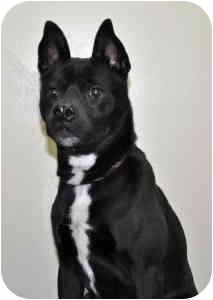 Boston Terrier Mix Dog for adoption in Port Washington, New York - Coal