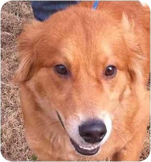 Golden Retriever Mix Dog for adoption in New Canaan, Connecticut - Lancelot
