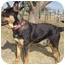 Photo 3 - German Shepherd Dog Mix Dog for adoption in Overland Park, Kansas - Rocky