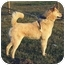 Photo 4 - Jindo/Shiba Inu Mix Puppy for adoption in Southern California, California - Blondie