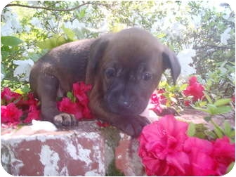Boxer/Labrador Retriever Mix Puppy for adoption in Bel Air, Maryland - Maya