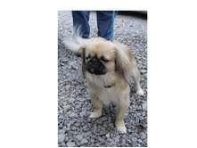 Pekingese Dog for adoption in Foster, Rhode Island - Gizmo-Reduced Fee!