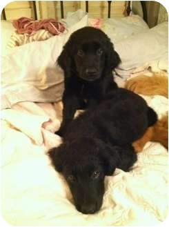 Golden Retriever Mix Puppy for adoption in Denver, Colorado - Kira