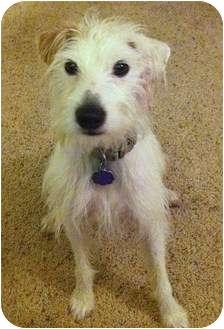 Jack Russell Terrier Dog for adoption in Harrah, Oklahoma - Potter