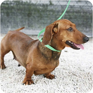 Dachshund Dog for adoption in Boynton Beach, Florida - Fifi
