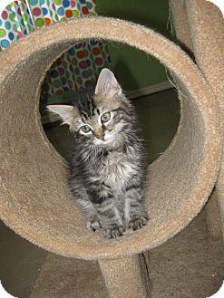 Domestic Longhair Kitten for adoption in Edmond, Oklahoma - Pierre