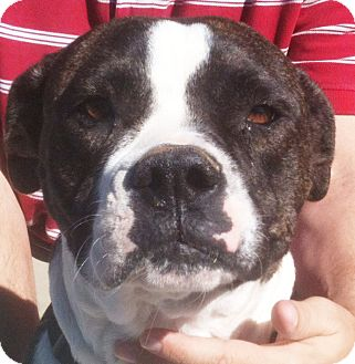 Boxer Mix Dog for adoption in Tucson, Arizona - Chanell