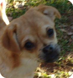 Pug/Chihuahua Mix Dog for adoption in Staunton, Virginia - SADE