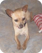 Chihuahua Dog for adoption in Houston, Texas - Susi
