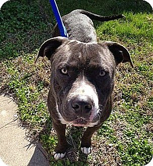 American Staffordshire Terrier Mix Dog for adoption in Rancho Cordova, California - Ike