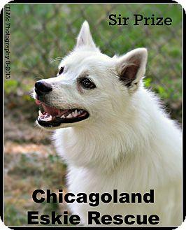 American Eskimo Dog Puppy for adoption in Elmhurst, Illinois - Sir Prize