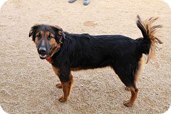 Gordon Setter/Irish Setter Mix Dog for adoption in Phoenix, Arizona - Lacy