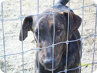 Catahoula Leopard Dog/Labrador Retriever Mix Dog for adoption in Mexia, Texas - Matilda