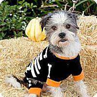 Adopt A Pet :: Vinnie - Mission Viejo, CA