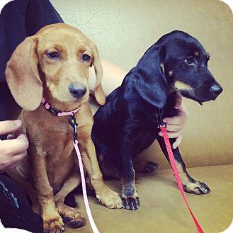 Hound (Unknown Type)/Labrador Retriever Mix Puppy for adoption in Eden Prairie, Minnesota - PENNY & WILBUR