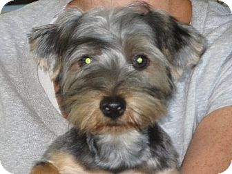 Yorkie, Yorkshire Terrier Puppy for adoption in Rochester, New York - Romulus