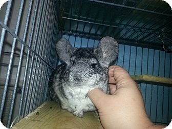 Chinchilla for adoption in Jacksonville, Florida - Toby